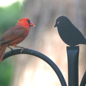 Northern Cardinal - Dean Morr