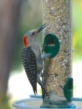 Red-bellied Woodpecker - Dean Morr