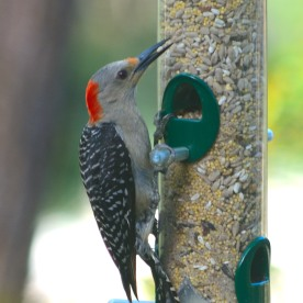 Red-bellied Woodpecker - Dean Morr