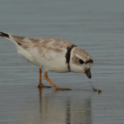 Piping Plover male adult, Seabrook Island, Aug 5, 2017 - Ed Konrad