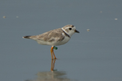 Banded Piping Plover male adult, Seabrook Island, Aug 5, 2017 - Ed Konrad