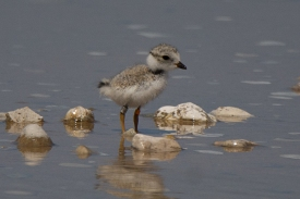 Piping Plover chick, Sleeping Bear Dunes MI, July 17, 2017 - Ed Konrad