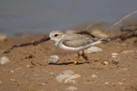 Piping Plover juvenile, Sleeping Bear Dunes MI, July 17, 2017 - Ed Konrad