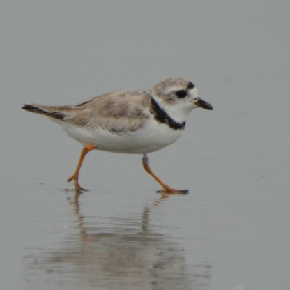 Banded Piping Plover male adult, Seabrook Island, Aug 4, 2017 - Ed Konrad