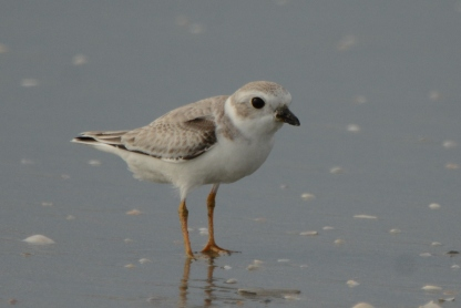 Banded Piping Plover juvenile, Seabrook Island, Aug 5, 2017 - Ed Konrad