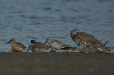 10 Red Knot, Black-bellied Plover, Willet, Least Sandpiper - Ed Konrad
