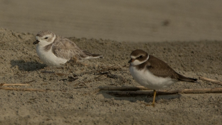 3) Semipalmated Plover and Piping Plover in North Beach protected area - Ed Konrad