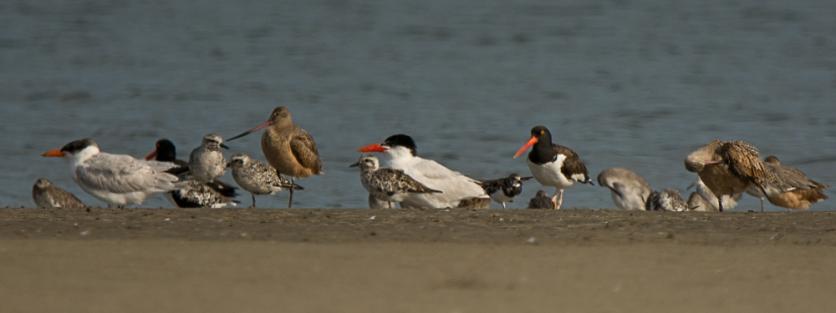 8) Marbled Godwit, Caspien Tern, Oystercatcher, Black-bellied Plover, Willet - Ed Konrad