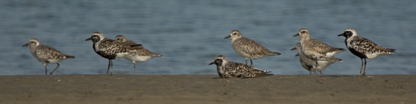 9) Black-bellied Plover - Ed Konrad