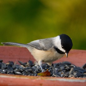 Carolina Chickadee - Taken at Charles Moore's home by Dean Morr