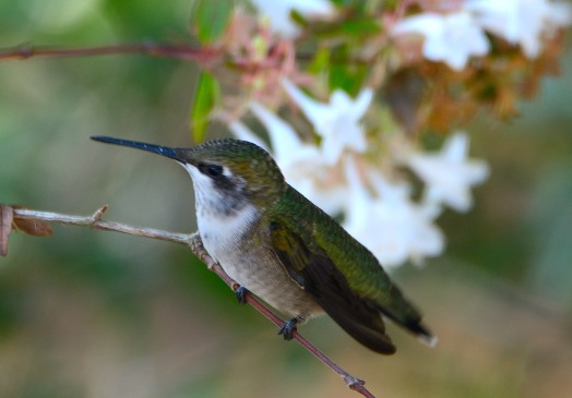 Ruby-throated Hummingbird - Taken at Charles Moore's home by Dean Morr