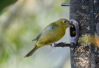 Female Painted Bunting - Taken at Charles Moore's home by Dean Morr
