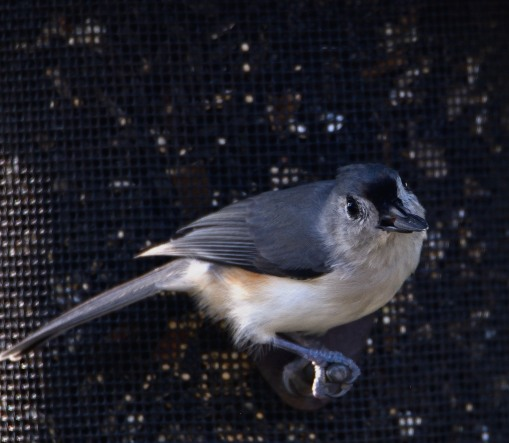 Tufted Titmouse - Taken at Charles Moore's home by Dean Morr