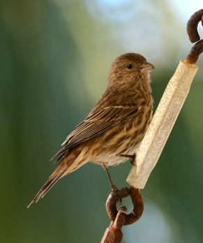 House Finch - Taken at Charles Moore's home by Dean Morr