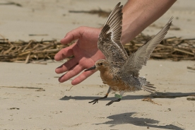 Red Knot Banding Apr 29 2017 on North Beach, Seabrook Island - Ed Konrad