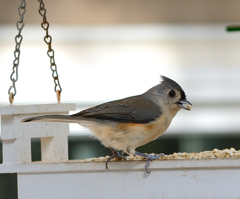 Tufted Titmouse at tray feeder with Safflower Seed - D Morr