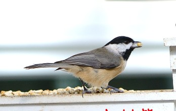 Carolina Chickadee in Tray Feeder with Safflower - D. Morr