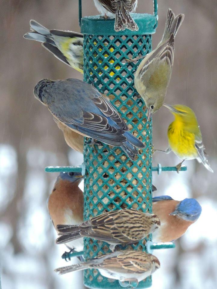 12 x Ambassador Fat Balls Wild Bird Food Feed Treats Seed Suet Finch Woodpecker