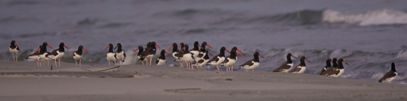 American Oystercatcher at sunset - Ed Konrad