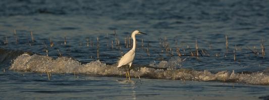 Snowy Egret in surf - Ed Konrad
