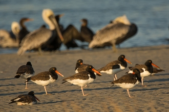 American Osytercatcher, Brown Pelican, Double-crested Cormorant - Ed Konrad