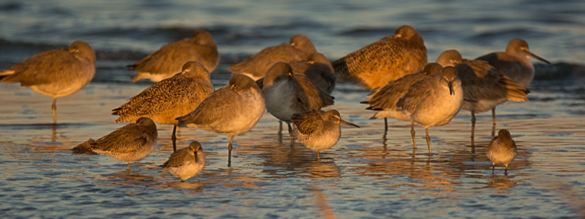 Marbled Godwit, Short-billed Dowitcher, Willet - Ed Konrad