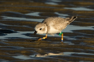 Piping Plover, banded at Kiawah Nov 2012, breeds NJ coast - Ed Konrad