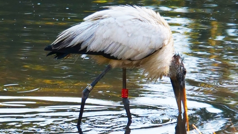 Banded Woodstork - Mark Murphy
