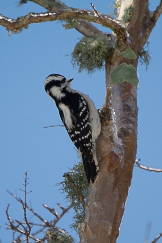 Downy Woodpecker - Ed Konrad