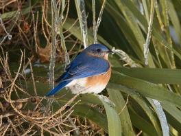 Eastern Bluebird - Ed Konrad