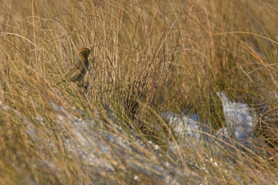 CBC North Beach Saltmarsh Sparrow - Ed Konrad