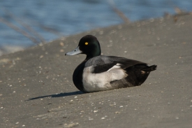 CBC North Beach - Lesser Scaup - Ed Konrad