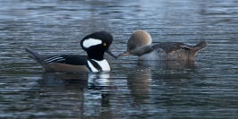 Hooded Merganser - Ed Konrad