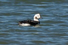CBC North Beach - Long-tailed Duck - Ed Konrad