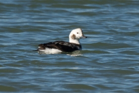 CBC North Beach - Long-tailed Duck - Ed Konrad