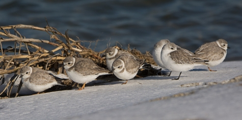 CBC North Beach - Piping Plover - Ed Konrad