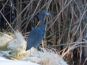 Little Blue Heron - Ed Konrad