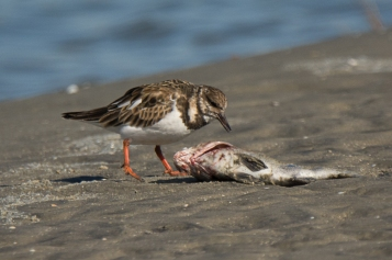 CBC North Beach - Ruddy Turnstone - Ed Konrad