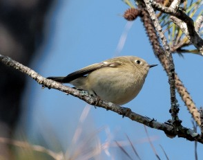 Ruby-crowned Kinglet - Charley Moore