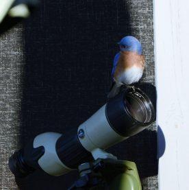 Bluebird on scope - Marie Wardell