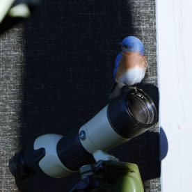 Bluebird on scope - Marie Wardell