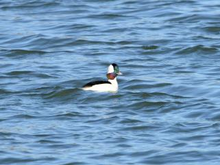Bufflehead swimming at the Seabrook Island Water Treatment Plant - Marie Wardell
