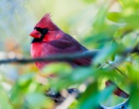 CBC Backyard - Northern Cardinal - Charles Moore
