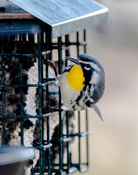 CBC Backyard - Yellow-throated Warbler - Charles Moore