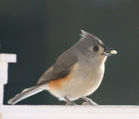 CBC Backyard - Tufted Titmouse - Dean Morr