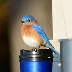 Bluebird on Coffee Mug - Dean Morr