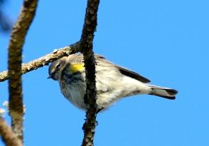Yellow-rumped Warbler - Dean Morr
