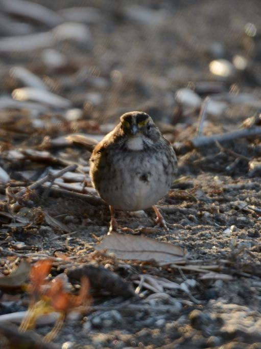 White-throated Sparrow at the Seabrook Island Water Treatment Plant - Marie Wardell