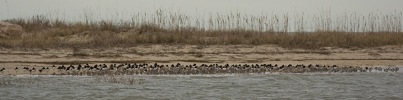 American Oystercatcher and friends at Cape Romain NWR - Ed Konrad