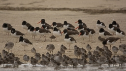 American Oystercatcher, Willet, Short-billed Dowitcher at Cape Romain NWR - Ed Konrad